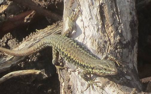 adult common wall lizard